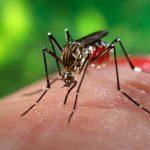 female aedes aegypti mosquito