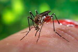 Female Aedes aegypti mosquito, the primary vector for Zika virus